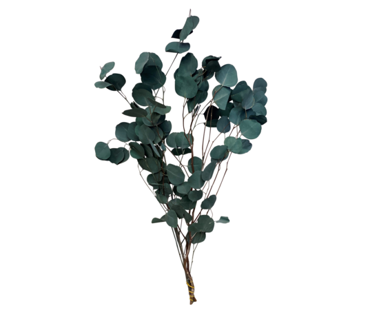 Trockenblume Eukalyptus